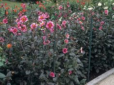 Dahlia Happy Single Wink - Dahlia  Donkerbladige dalia met enkelvoudige bloemen die verkleuren van roze naar rood in het midden. Hoogte: 60-70 cm.