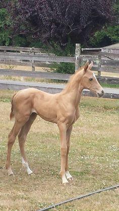 Akhal-Teke foal