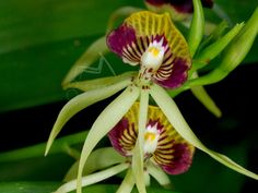 Prosthechea cochleata (black orchid/cockleshell orchid)