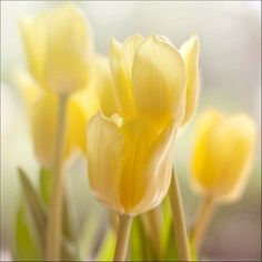 ♥ Yellow tulips