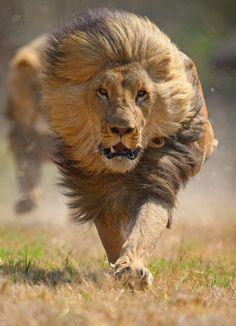 """Lion by David """"Baz"""" Jenkins, Wildlife Photographer Beautiful Cats, Animals Beautiful, Wildlife Photography, Animal Photography, Animals And Pets, Cute Animals, Scary Animals, Fierce Animals, Nature Animals"""