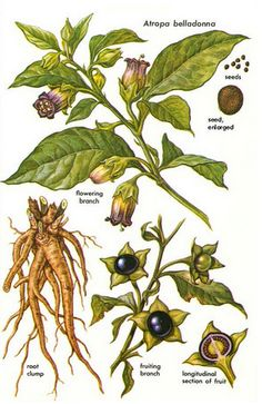 """Atropa belladonna (Deadly Nightshade) is one of the most notorious of witch plants. Many scholars believe that the witches' """"trips"""" to the Sabbat were often brought about through ingestion of this and similar drugs. Botanical Drawings, Botanical Illustration, Botanical Prints, Deadly Plants, Poisonous Plants, Poison Garden, Witch Herbs, Illustration Botanique, Plant Drawing"""