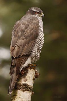 Accipiter gentilis - Northern Goshawk