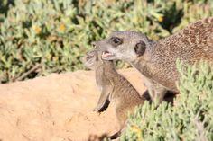 Keeping everyone in check Gang Up, Big Family, Mammals, Habitats, Check