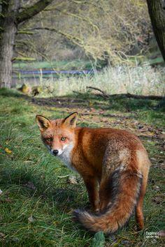 Red Fox by Yvonne van der Meij