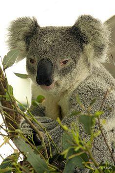 _Koala, je dors..ranquille....laisse moi t