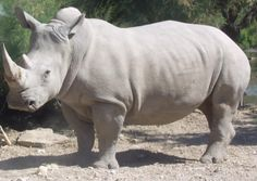 Save White Rhinos from Poachers | Click for details and please SIGN and share petition. Thanks.
