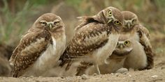 Any Questions? A few burrowing owl chicks near their burrow. by Henrik Nilsson on 500px