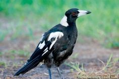 These critters try to take food out of your pocket. Interesting Animals, Australian Birds, Magpie, My Animal, Brisbane, Pocket, Food, Essen, Yemek