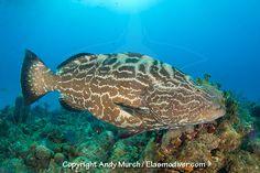 Black Grouper Fish   Black Grouper Gouper Fish Pinterest Wildlife