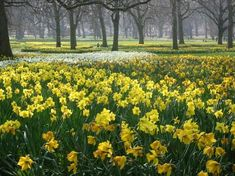 lovely field of daffodils