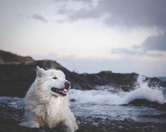 Tucker. The wolf...⠀  .⠀  .⠀  .⠀  .⠀  #wolves #wolvesofinstagram #wolfdog #vancouverisland #vanisland #explorebc #explorecanada #beautyofbc #beautifulbc #sharevi #tourismvictoria #hellobc⠀  #pnw #pnwcollective #explore #wild #wanderlust #travel #roamtheplanet #exploremore #compassoutdoors #storiesofthecoast #islandlife #capture #livin #tlpicks #nakedplanet #optoutside #wildernessculture #earthpix ⠀