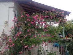 Nosotros tenemos rosa rosas
