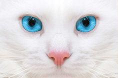 ¿Por qué los gatos blancos de ojos azules suelen ser sordos?