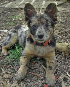 Toad the Cattle Dog Mix -- Puppy Breed: Australian Cattle Dog / Australian Shepherd