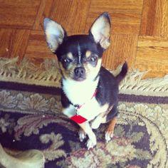Cutie Chihuahua!