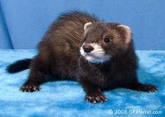 black sable ferret | Black sable hob 1