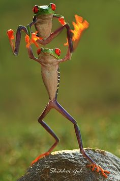 ~~We Are The Champion ~ frog gymnastics! by shikhei goh - - very cute photo X mh