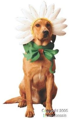 Pet Daisy Dog Halloween Costume For Large Dogs http://keeplookingbusy.com/itemDetails.aspx?id=B000SEOT9G
