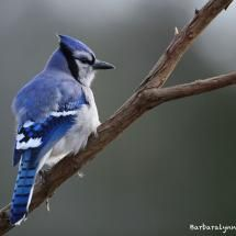 Blue Jay @ Barb D'Arpino; Posted by: sms