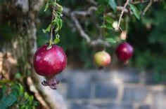 Pomegranate bonsai - Yahoo Image Search Results