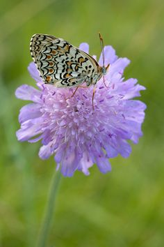 """PINCUSHION FLOWER WITH A """"FLYING FRIEND""""."""