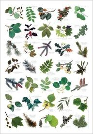 1000 images about tree identify on pinterest tree leaves tree identification and trees - Tell tree dying order save ...