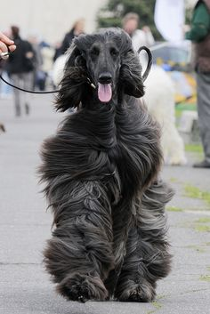 This is what my Afghan Hound Sweetie looked like...she loved being on our farm and chasing the cows too... burdock's were a nightmare though! lol