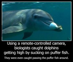 Biologists caught dolphins getting high by sucking on puffer fish -