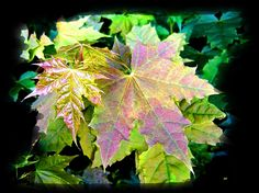 A beautiful piece of digital art to showcase luxuriant spring maple leaves. This art piece will enhance every room it hangs in, as it brings solace to the onlooker. Perfect as a framed print or greeting card, as well as on a number of quality items listed right here. Treat either yourself or that special person in your life.