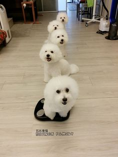 ...you can never have too many Bichons!