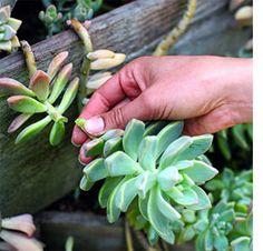 Propigate succulents