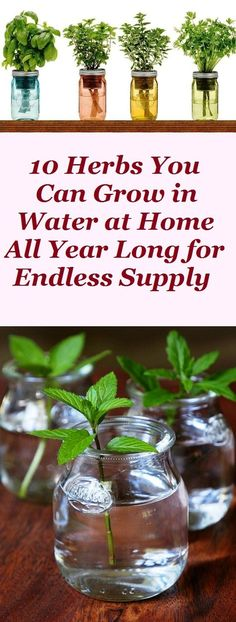 Growing Herbs in water