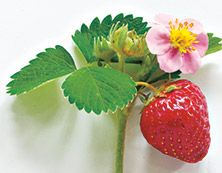 Wild Strawberry - Takes you to a meadow filled with plump berries on a warm, sunny day. Wild Strawberries, Best Fragrances, Sunny Days, Strawberry, Pure Products, Fruit, Sweet, Warm, Food