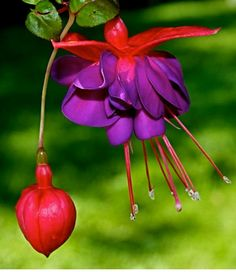 Great Container Plant For Shade - Fuchsia, 'Dark Eyes'