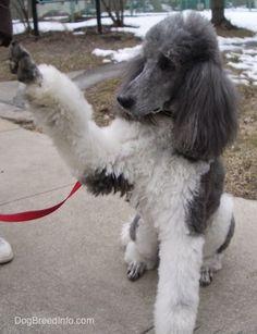 Standard Poodle Dog Breed Pictures, 2