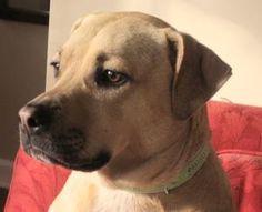 Cleo: Labrador Retriever, Dog; Paramus, NJ