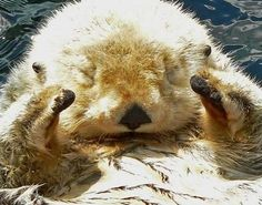 Sea Otter: one of the most adorable animals in existence