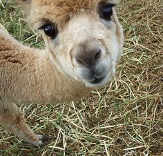 - Alpacas are animals from South America that resemble small llamas in their appearance. Like Animals, Animals And Pets, Baby Animals, Funny Animals, Alpacas, Cute Creatures, Beautiful Creatures, Animals Beautiful, Cute Alpaca