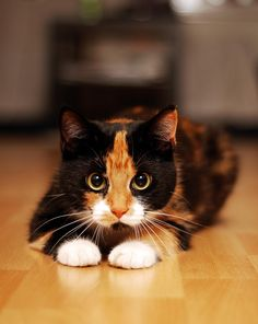 Glckskatze two pictures of calico cats a collection several are badly photographed but some are really nice Cute Cats And Kittens, Baby Cats, Cool Cats, Kittens Cutest, Ragdoll Kittens, Funny Kittens, Bengal Cats, Most Beautiful Cat Breeds, Beautiful Cats