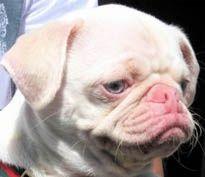 Pug Albino