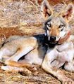 Israel - Implement Non-lethal Methods To Control Wolf Population And Concerns