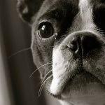 Boston Terrier new wallpapers