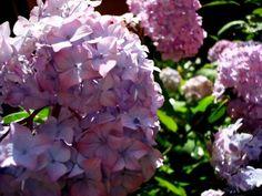 Cómo hacer que tus hortensias sigan floreciendo
