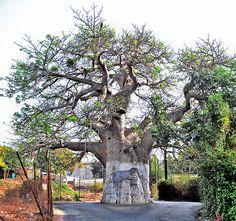 Baobab Tree, Dakar, Senegal