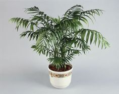 Want to Grow a Palm Tree Indoors? Try the Kentia Palm Cat Safe Plants, Cat Plants, Majesty Palm, Indoor Palms, Plants Indoor, Kentia Palm, Bamboo Palm, Palm Plant, Peace Lily