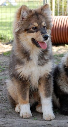 #Finnish #Lapphund - a spitz-like #dog from Finland.