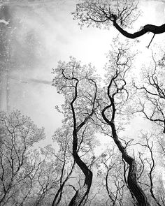 Photography  Black & White Trees Silhouettes Grunge by ShutterSoup,