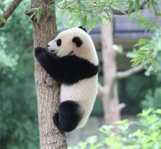 """""""It's Bao Bao! It's Bao Bao!"""" the children cried, as they peered over an enclosure at the National Zoo's Giant Panda Exhibit.""""They're cute, they're adorable,"""" beamed Shamaila Bashir, who flew in from London to see the nearly four-year-old panda before her Panda Gif, Panda Head, Moving To China, San Diego Zoo, Red Panda, Animal Paintings, Polar Bear, Traveling By Yourself, Cool Photos"""