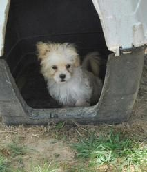 Lilli is an adoptable Shih Tzu Dog in Greenwood, MS. 7/12/2013 Lilli is a shi poodle and she is about 10 weeks old. She is very sweet and loves to run and play. Lilli prefers a home without small chi...